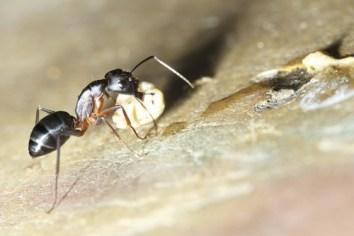 bug common black ant