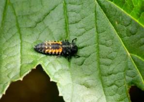 A ladybug larva.