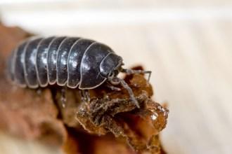 bug pill bug