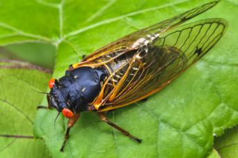 bugs cicada