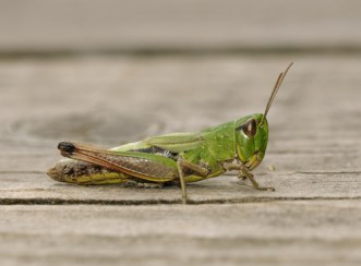bugs grasshopper 2