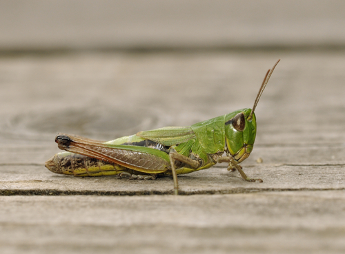 insects, bugs, grasshopper