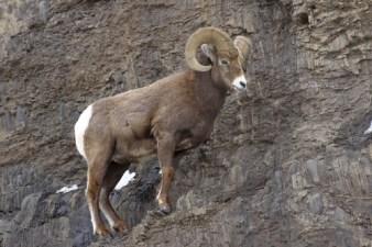 common mammals, big horn sheep