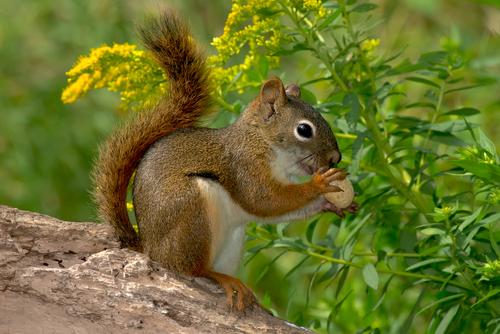 mammals red squirrel