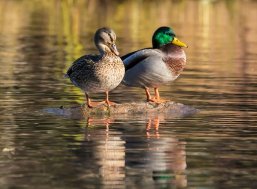 duck upside down