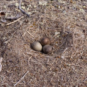 baby birds, ground nest