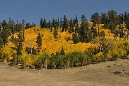 Aspen trees in the fall, fall colors