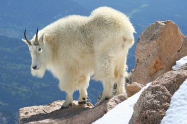 A mountain goat with its thick winter coat.