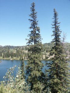 conifer trees or evergreen trees