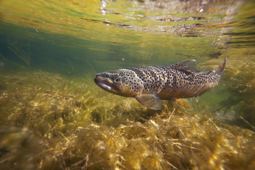 fish brown trout swimming