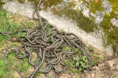 garter snakes many.jpg