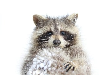 raccoon snow