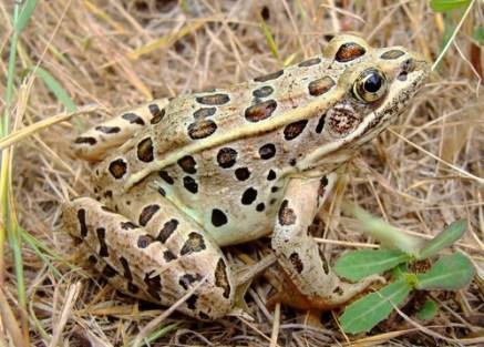 larger males, amphibians
