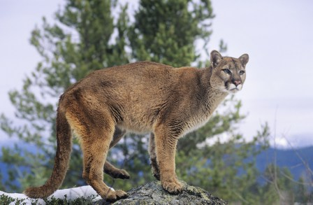 mountain lion, natural sunglasses