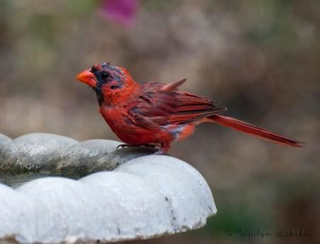 molting, cardinal, bird, birds molt