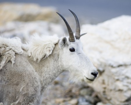 molting, mountain goat