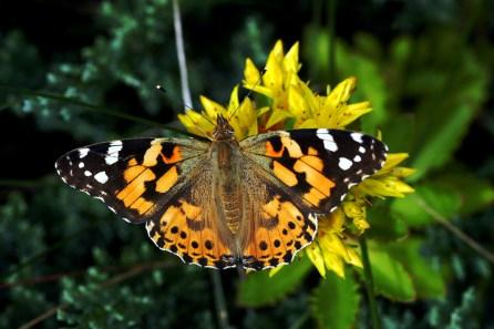 metamorphosis, butterfly