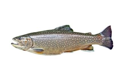 spawn, lake trout, fish