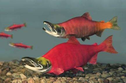 spawn, sockeye salmon, fish