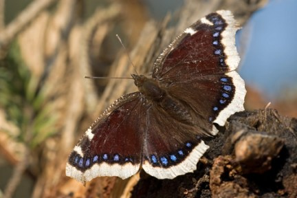 bugs-mourning-cloak-butterfly blog bugs butterflies insects Nature nature facts