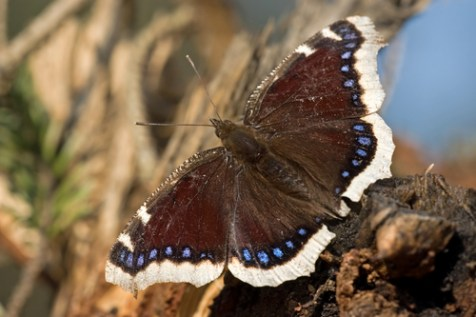 mourning cloak butterfly, insects in winter