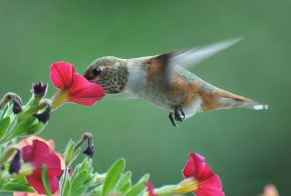 hummingbird, bird, sip nectar