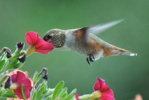 hummingbird, bird
