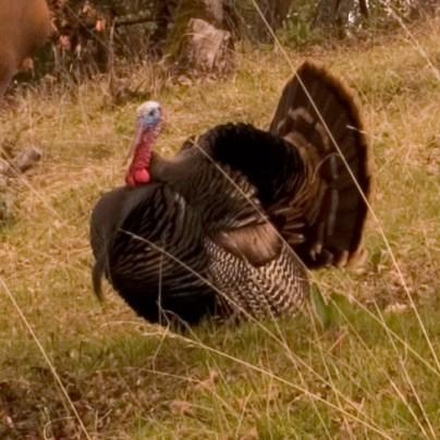 turkey, bird