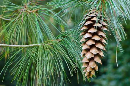 conifers reproduce