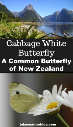 cabbage-white-pin blog bugs butterfly cabbage white insects Nature nature facts New Zealand rocky mountains