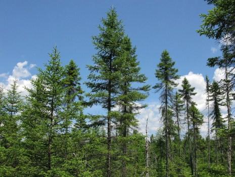 spruce vs. fir