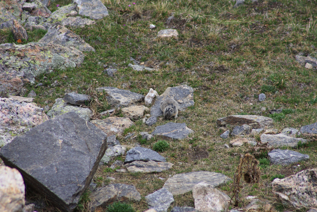 7 fun facts about american pika mountain dwellers jake s nature blog