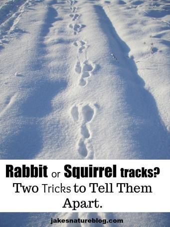 squirrel tracks in snow