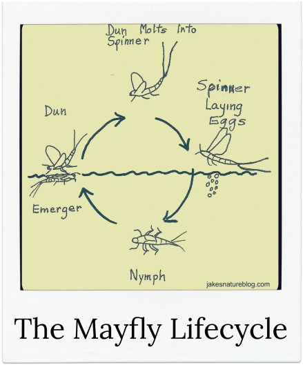 Mayfly Lifecycle Explained For You With A Nice Diagram Jakes