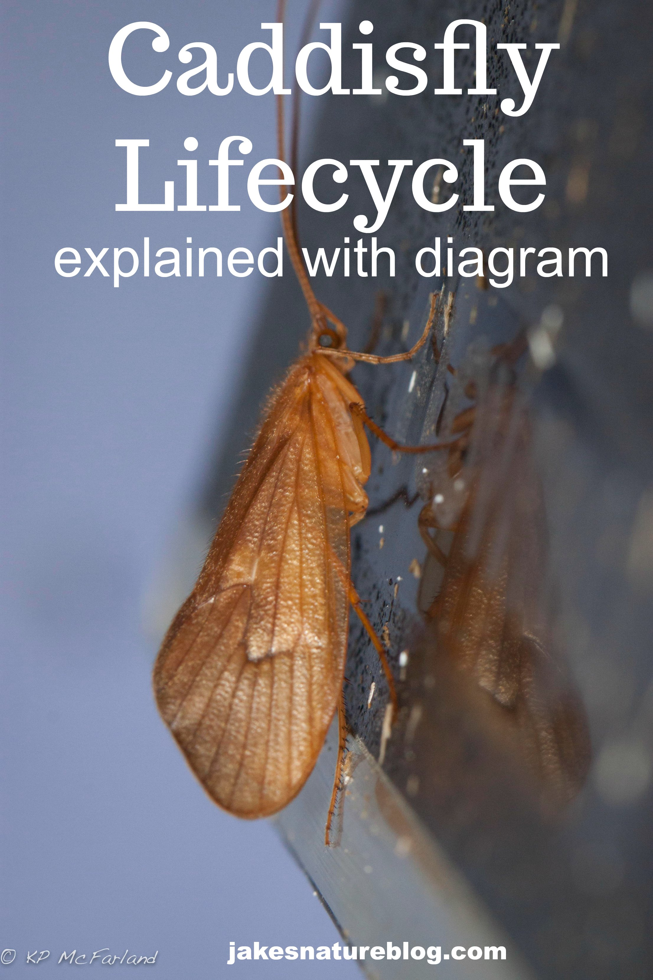 Diagram Of A Water Bug Custom Wiring Diagram \u2022 Usda Internal Features  Insect Diagrams