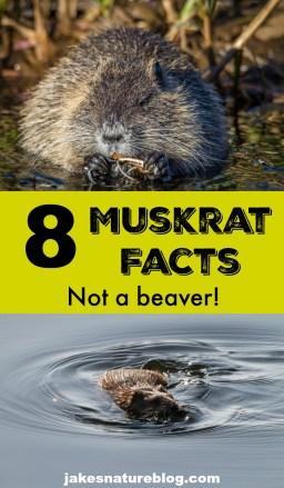muskrat-pin mammal mammals muskrat Nature nature facts