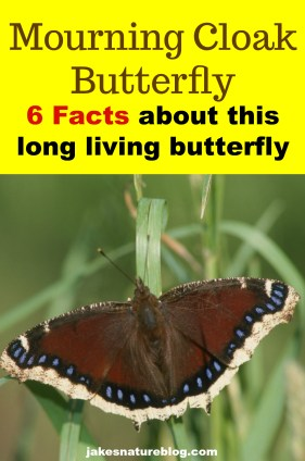 mourning-cloak-pin blog bugs butterflies insects Nature nature facts