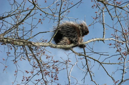canada-porcupine-1554951_1920 jakes fun facts about nature mammal mammals Nature nature facts winter