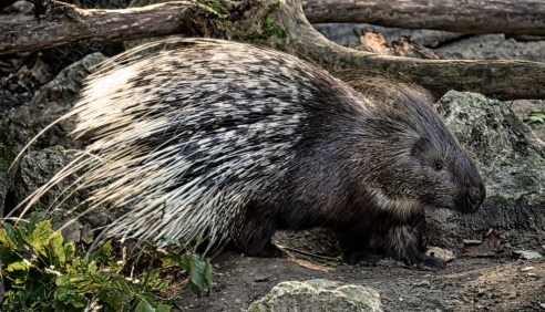 porcupine-3742065_1920 jakes fun facts about nature mammal mammals Nature nature facts winter