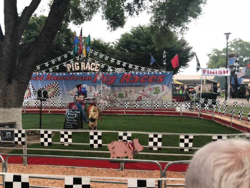 """The """"Great American Pig Races""""…"""