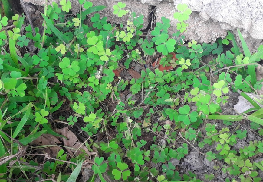 The branches of Oxalis corniculata L. (Indian sorrel) is spreading.