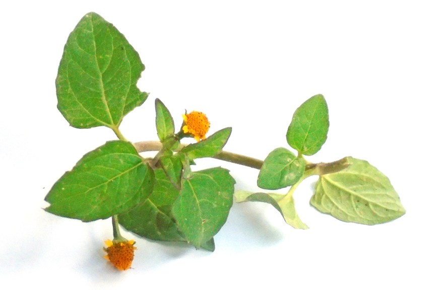 A stem of Acmella paniculata (Wall. ex DC.) plant (Eyeball plant, spot plant, para cress) with two flower of orange colour.