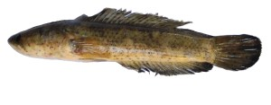 Side view of Channa punctatus (Spotted snakehead ) is seen.