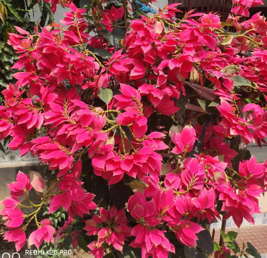 Poinsettia is bloosming in red colour.
