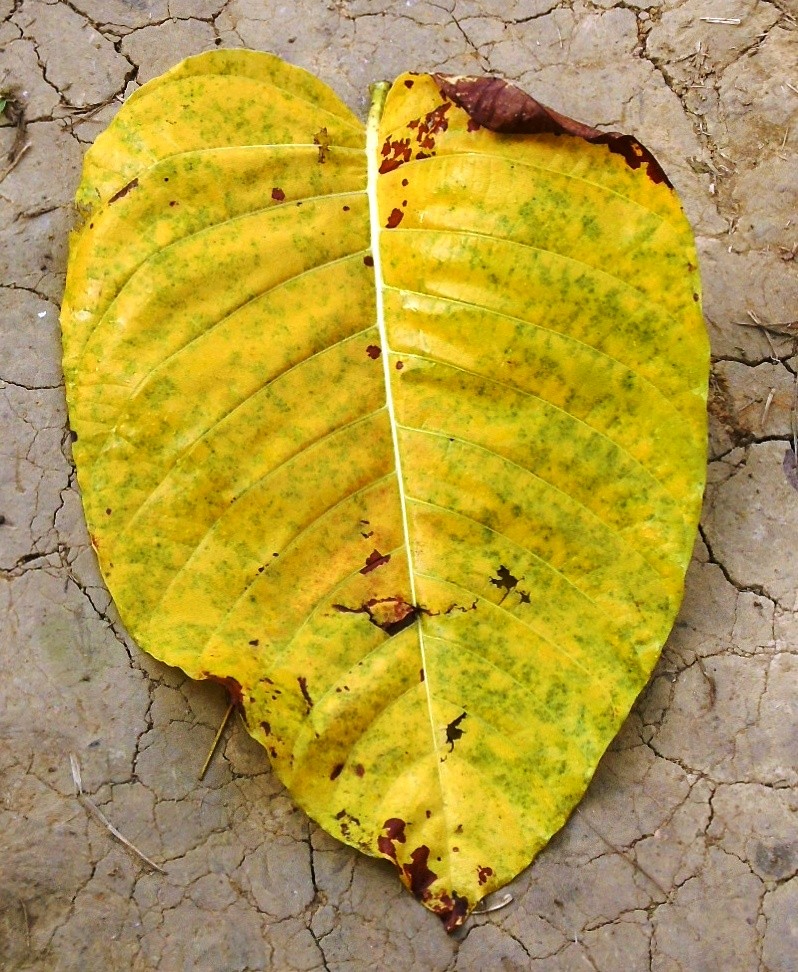 The color of the dry fallen leaf of Neolamarckia cadamba is yellow.