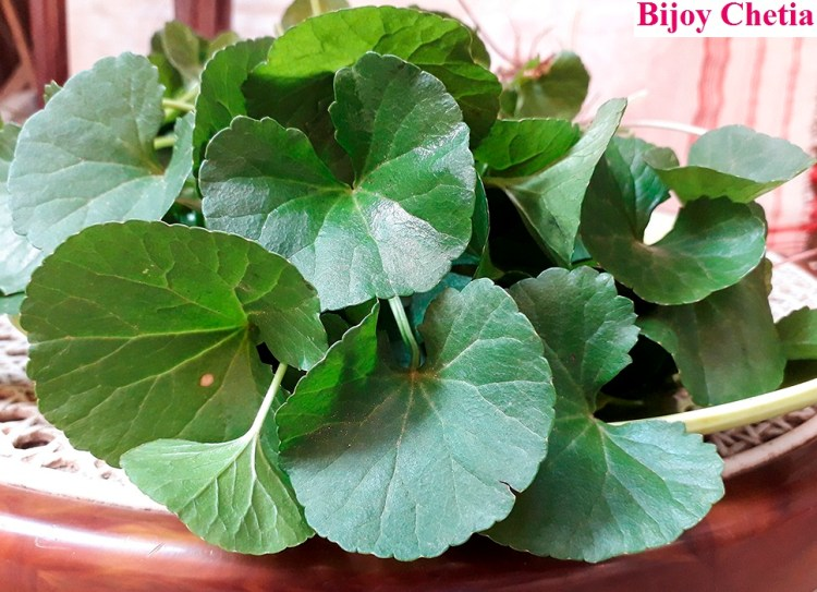 leaves pf Asiatic pennywort plant