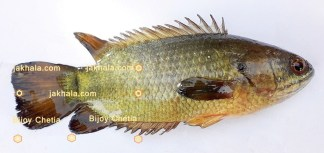 An Indian climbing perch