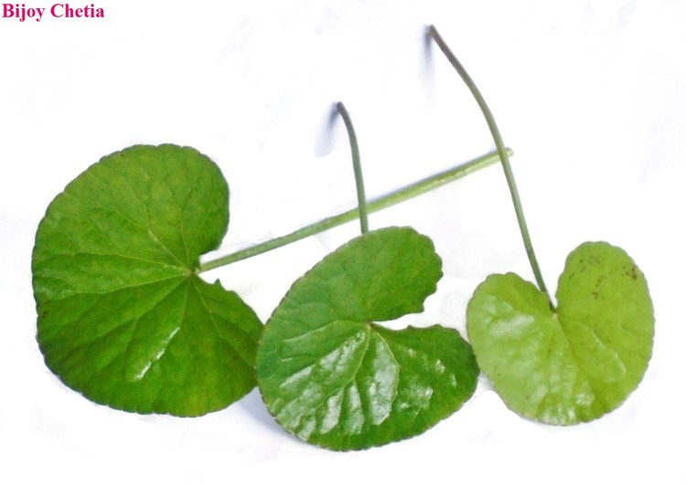 three leaves of Indian pennywort in white background