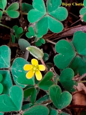 One yellow flower and one fruit of Indian sorrel (Oxalis corniculata L.) plant are growing.