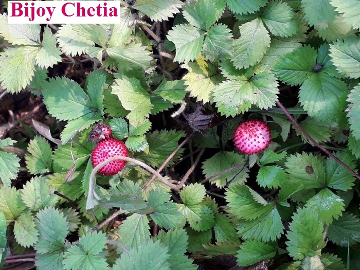 Potentilla indica plants are growing with two fruits